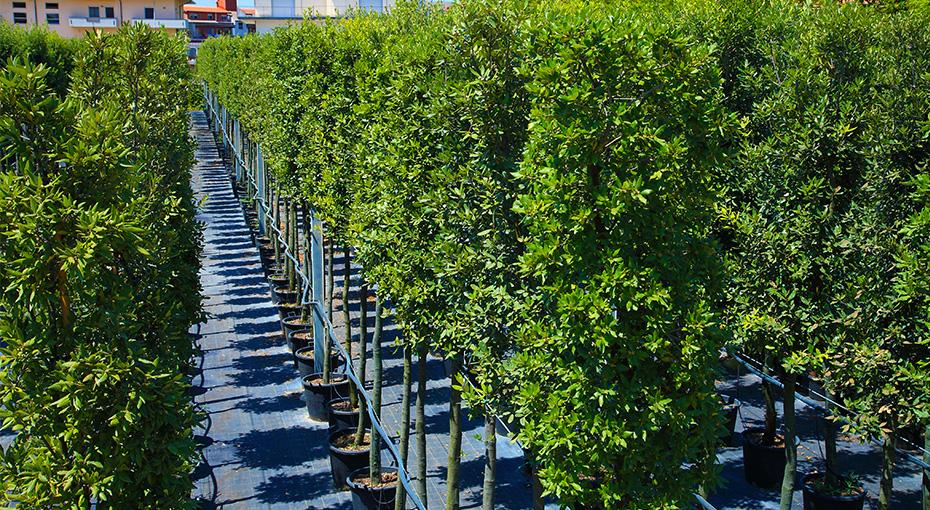 Quercus ilex for Quercia sempreverde